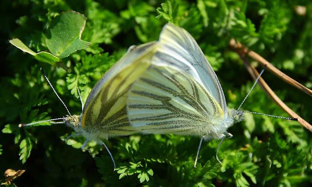 Green veined white butterflies (Pieris napi) mating