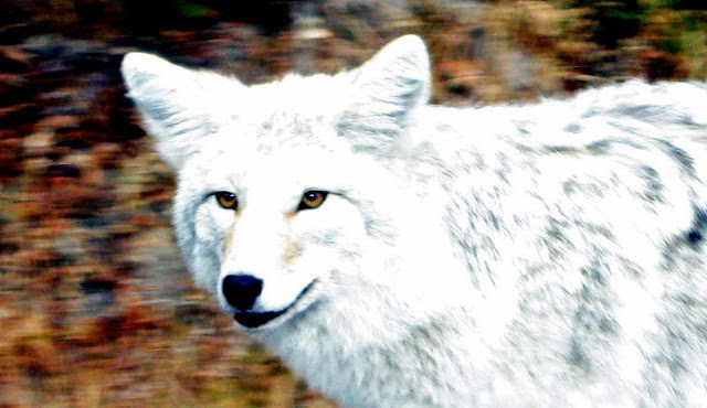 White-y coyote: Newfoundland animal profiled in National Geographic with Video