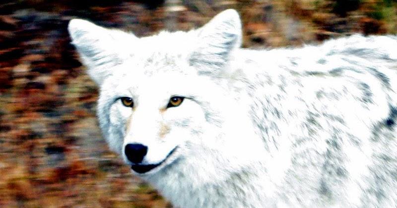 K Dog Strain White Wolf : White-y c...