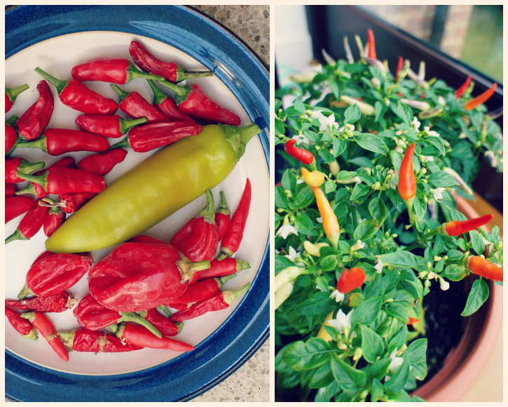 Grow Chillies (Apache, Cheyenne, Basket of Fire, Scotch Bonnet)