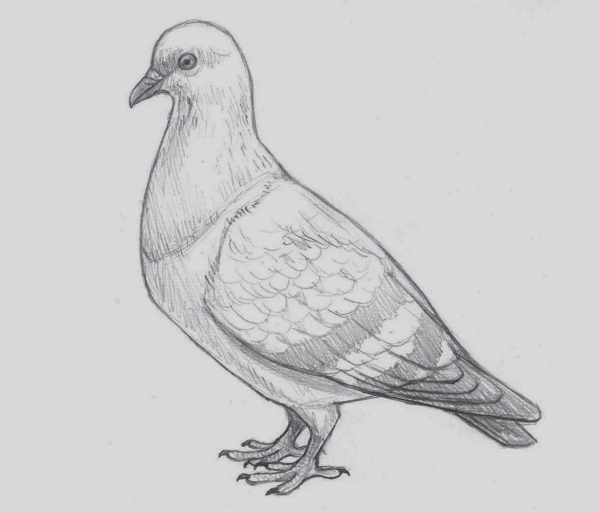 Drawing: Colour Drawing Free Wallpaper: Pigeon Coloring Drawing
