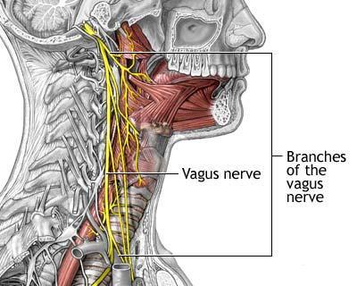 Pharyngeal branch of vagus nerve