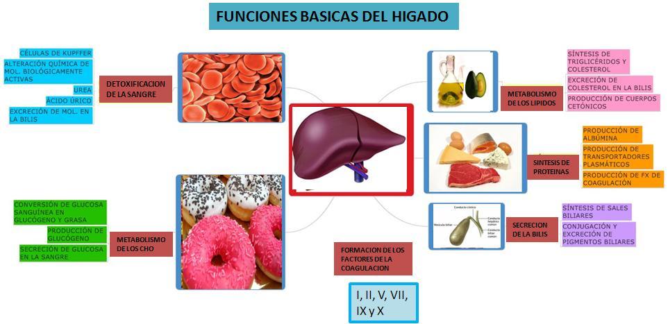 Evidencias de fisiología de Iris : funciones y anatomía de higado