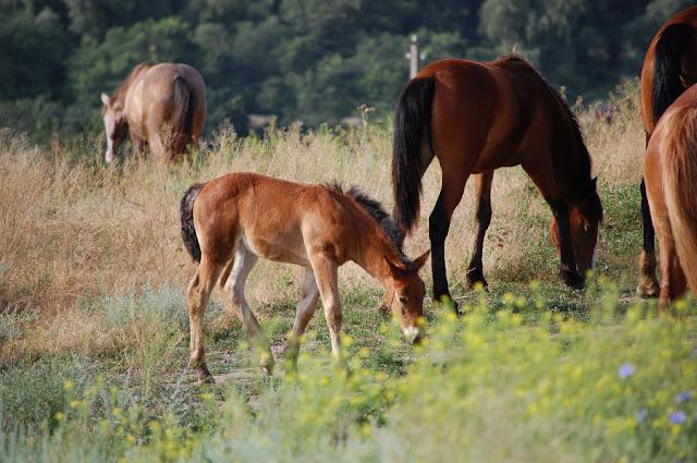 Жеребенок и взрослые лошади