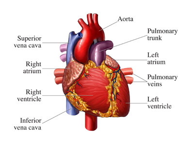Human biology and health circulation right auricle and right ventricles are the chamber for the impure blood whereas the left auricle and left ventricle are for the pure blood ccuart Images