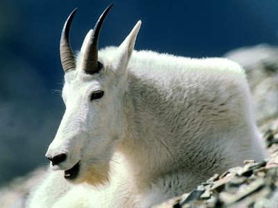 Mountain Goat Wild Animal