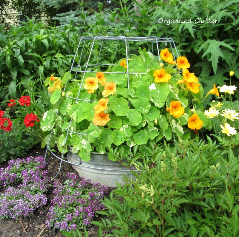 Wire Basket Cloche Over Tub Of Nasturiums www.organizedclutterqueen.blogspot.com