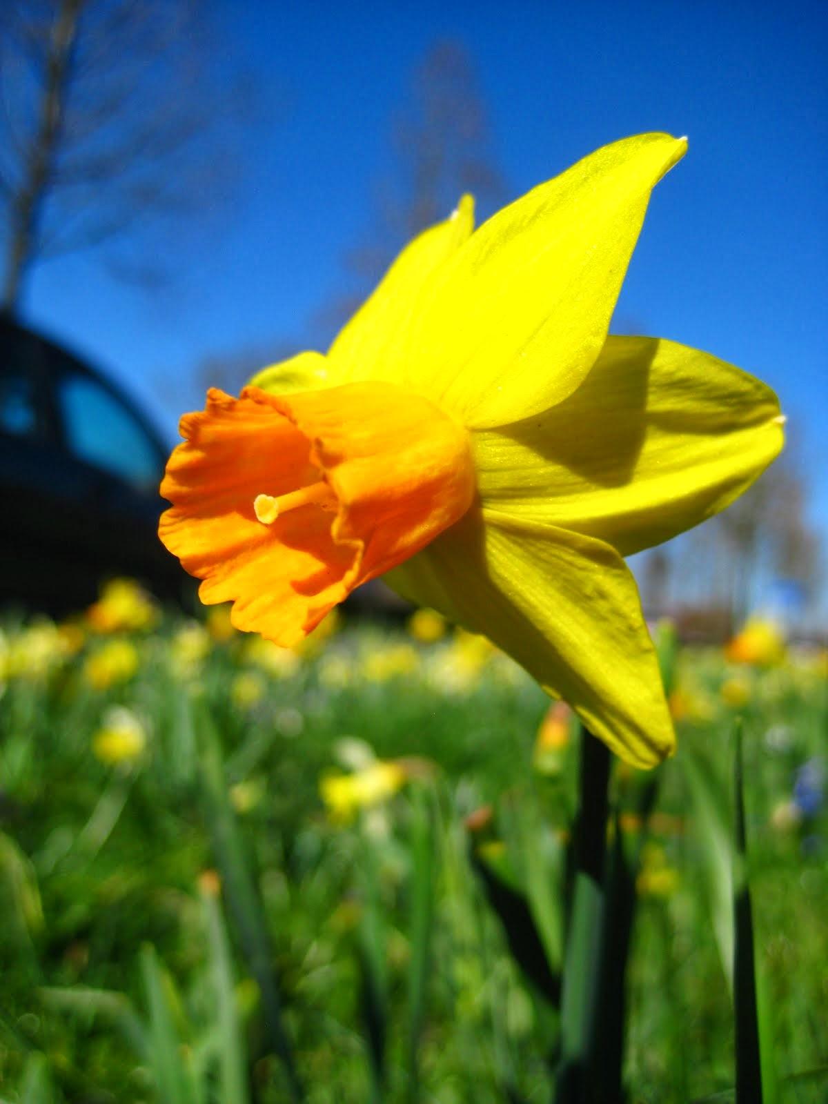 Narcis in de wind