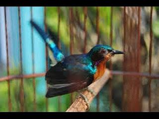 Tips Perawatan Umum Burung Kolibri Berikan kroto setengah sendok makan, di selingi dengan susu manis, pemberian susu dan madu di seling 2 hari ganti, 2 hari madu, 2 hari susu. Pelihara lah burung 2 atau lebih burung kolibri agar bersahur-sahutan   Nah disini om-gacor akan kasih Tips Agar Kolibri Rajin Bunyi (Gacor) yang bisa kita praktekan dirumah agar kolibri yang kita pelihara memuaskan kita karena gacor,berikut tips yang akan om gacor berikan: Pertama tama kita harus memilih kolibri ninja berjenis kelamin jantan karena sudah pada mengetahui bahwa burung yang kicauannya bagus adalah jantan. Cari burung dengan kondisi yang sehat, gesit, lincah dan  mata cerah. Usahakan memilih burung dengan ekor yang mengumpul dan tidak menyebar. Pilih burung dengan warna bulu yang contrast dan cerah (jangan yang burem).  Berikut Tips Cara Merawat Kolibri Ninja Biar Gacor (Rajin Bunyi),ini merupakan perawatan harian yang perlu kita perhatikan: Pada pagi hari setelah subuh kira-kira sudah mulai sedikit terang, coba keluarkan burung diembunkan hingga keluar sinar matahari menghangatkan tubuhnya secukupnya saja. Setelah itu, mandikan burung Kolibri  dengan semprot/sprey. Jemur kira-kira 1 jam, angkat Kolibri  dan taruh ditempat yang teduh atau teras, berikan makanan berupa ulat hongkong atau voer jika burung sudah makan voer, dan sediakan air gula dengan takaran 50 banding 50 sebagai pengganti madu, karena kondisi madu biasanya kental dan pengalaman saya  waktu punya kolibri, akan lebih memilih air gula namun jangan lupa pula tetap sdiakan air putihnya. Dan selanjutnya burung dimaster dengan suara burung lain sesuai selera. Demikian Tips Perawatan Kolibri Ninja Biar Gacor rajin Bunyi yang dapat om berikan semoga ada manfaatnya.