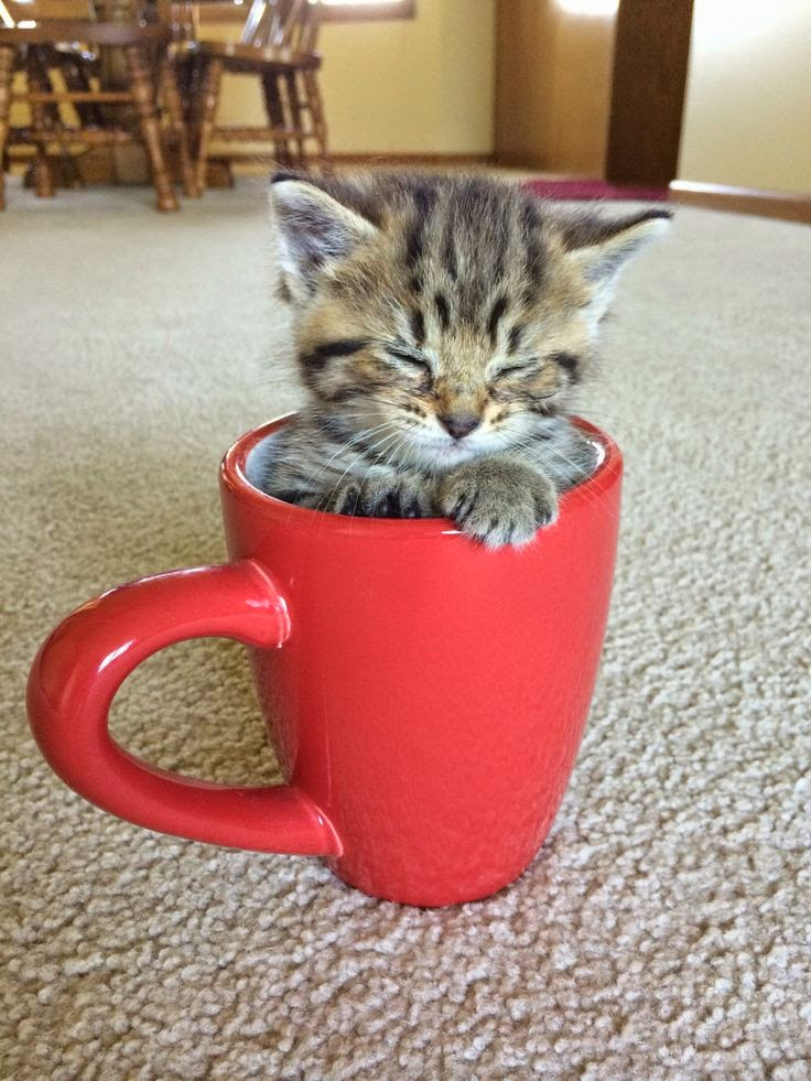 Top 5 Most Adorable Teacup Cats