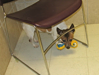 dog breaking toys under chair