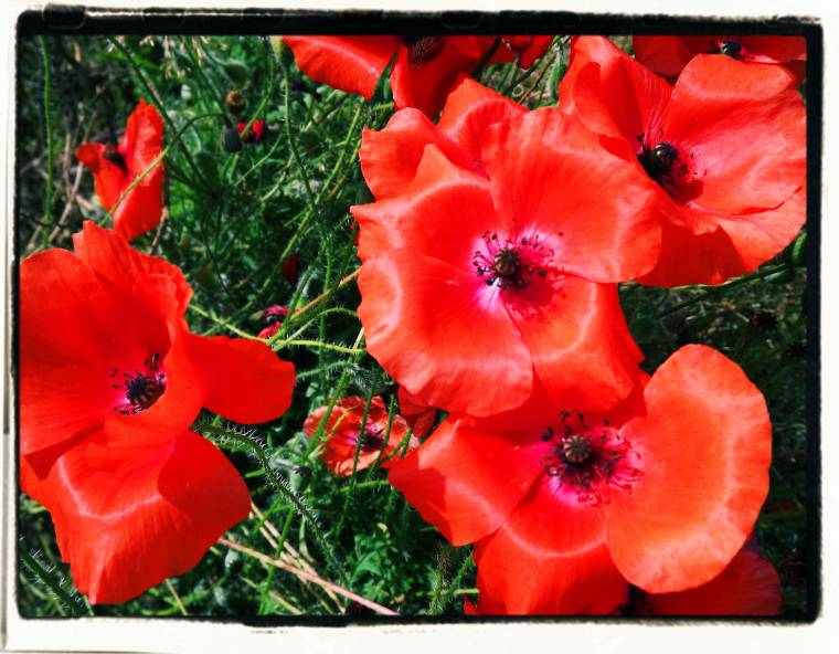 Weekend Flowers: Beautiful Red Poppies To Brighten Up Your Day.