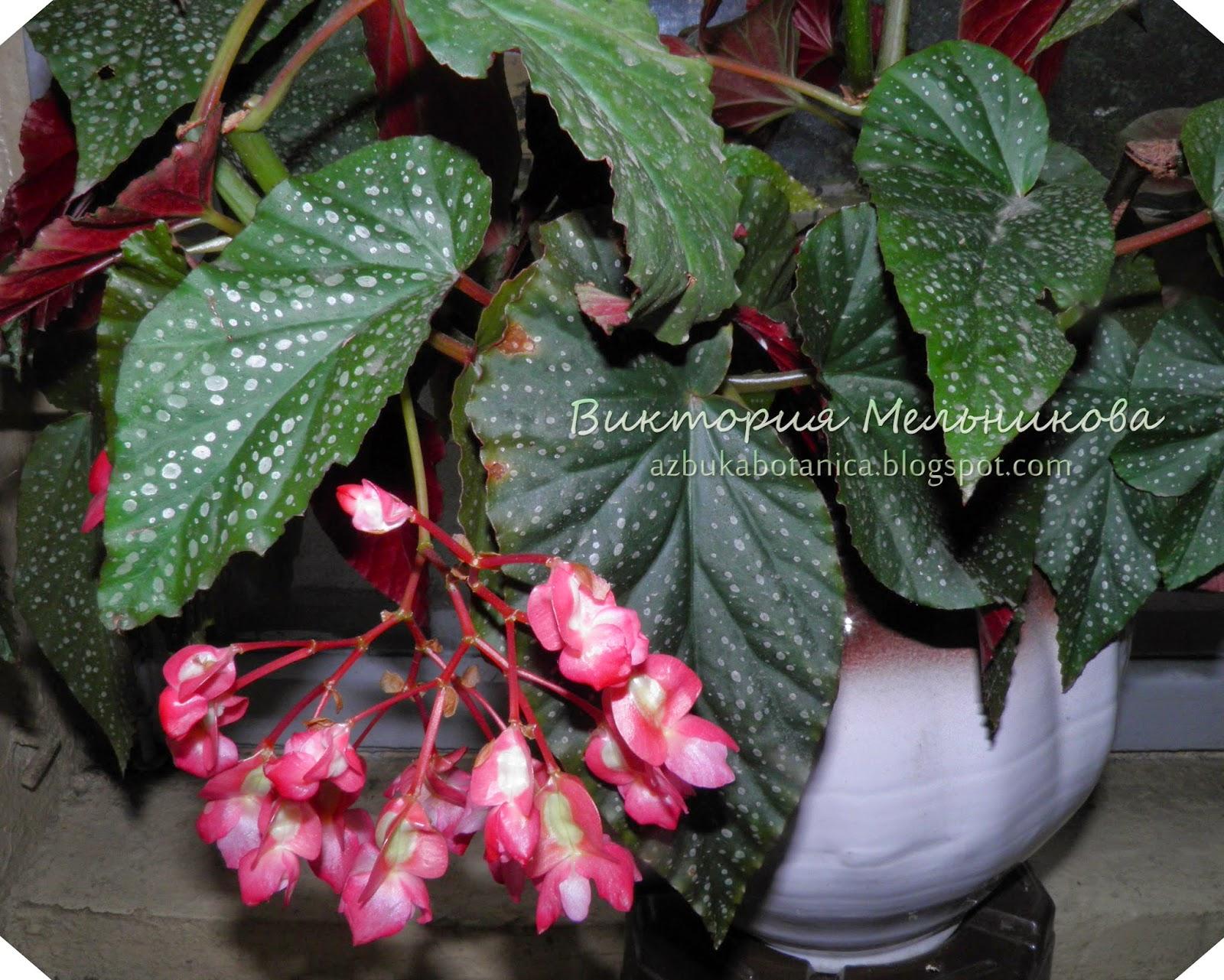 Блог о цветах и цветоводстве: 15 самых красивых цветущих ...: http://azbukabotanica.blogspot.com/2015/02/15-angel-wing.html