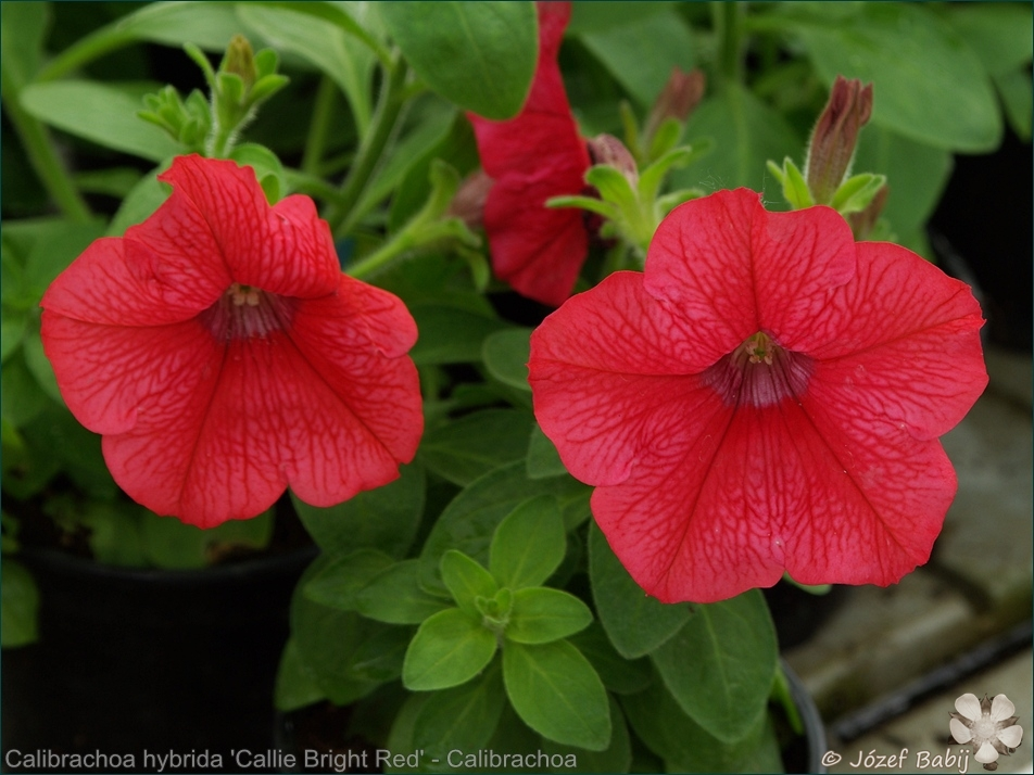 Calibrachoa hybrida 'Callie Bright Red' - Calibrachoa