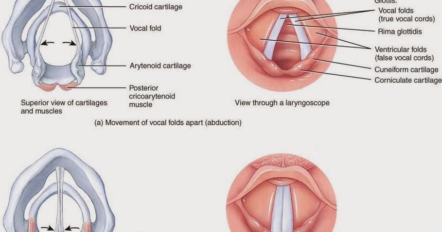 Alteraciones y enfermedades : Laringitis
