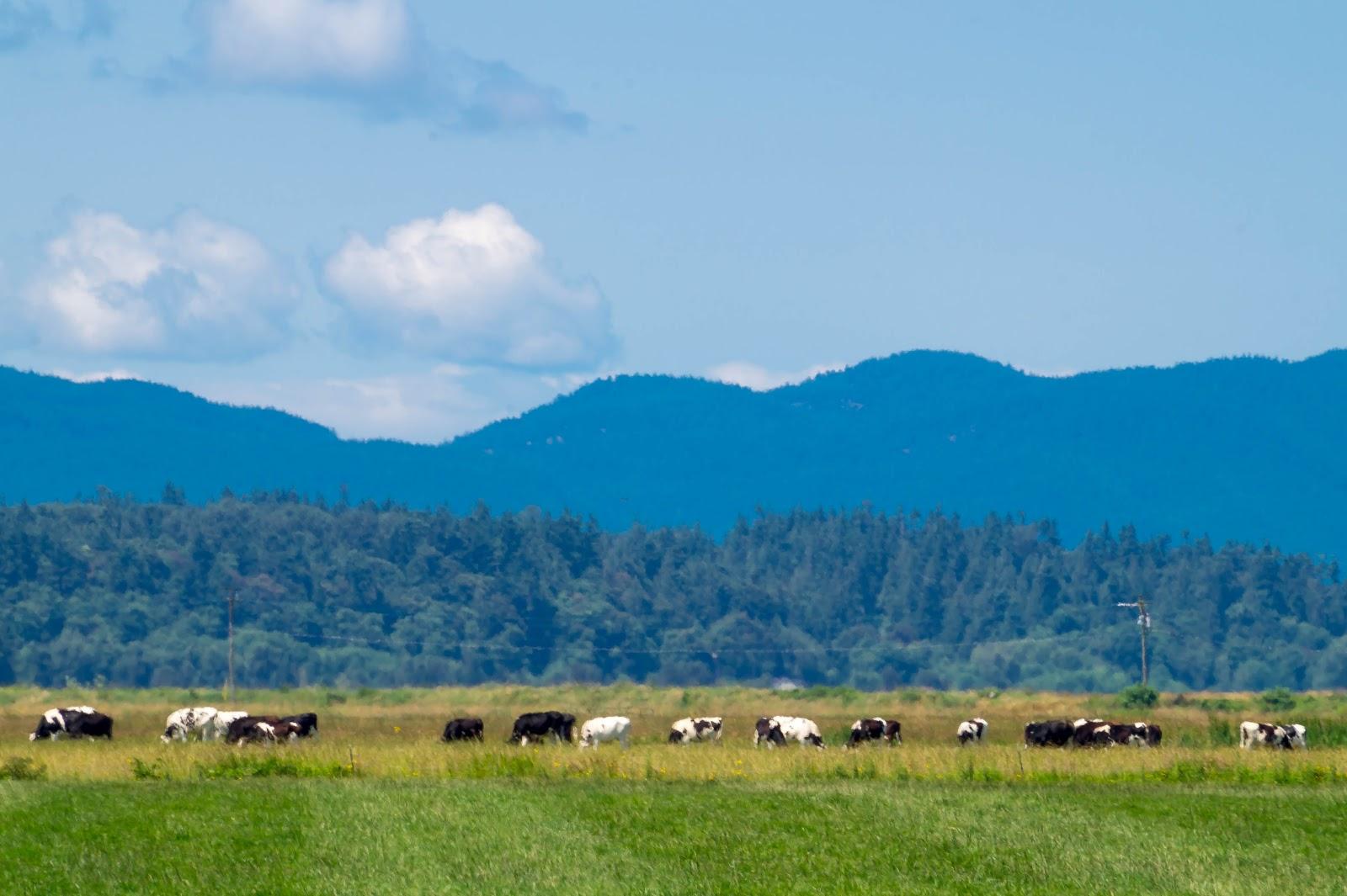 И коровы мирно пасутся на фоне голубых гор.
