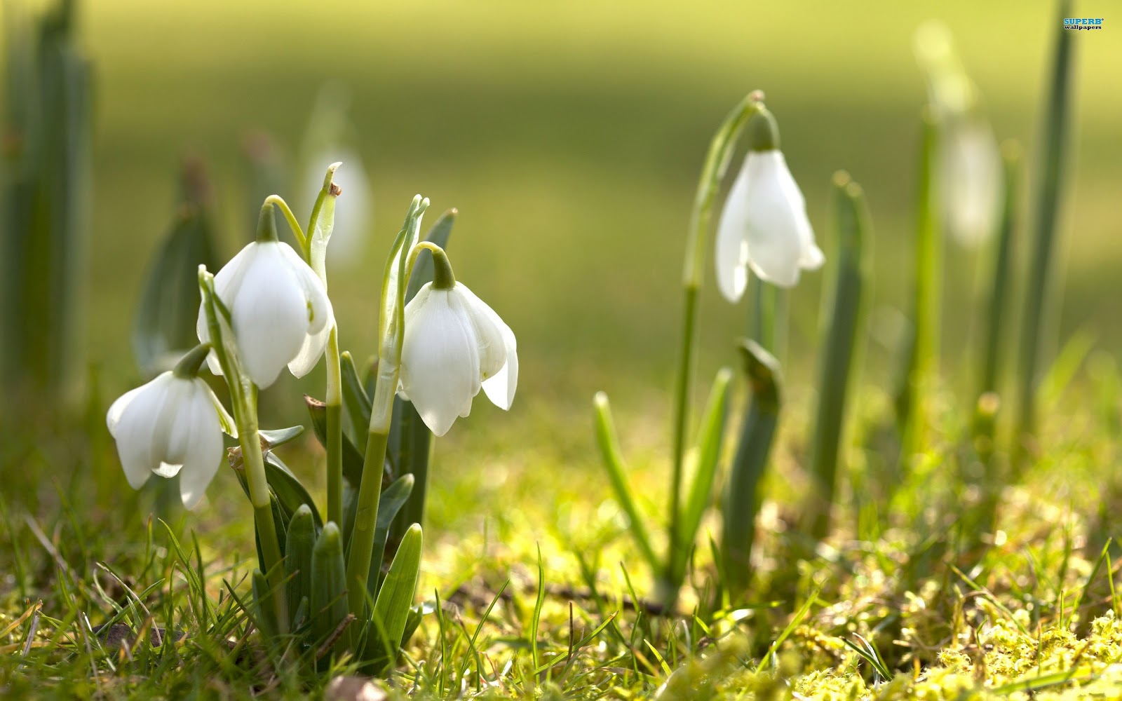 Beautiful HD Wallpapers Snowdrop Wallpaper 2