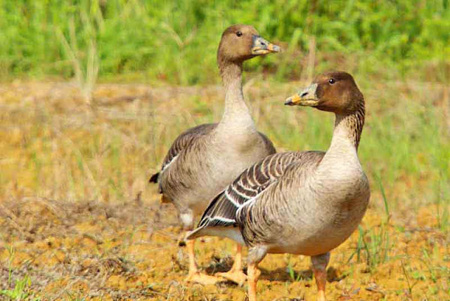 pair of Bean Geese,open field,standing