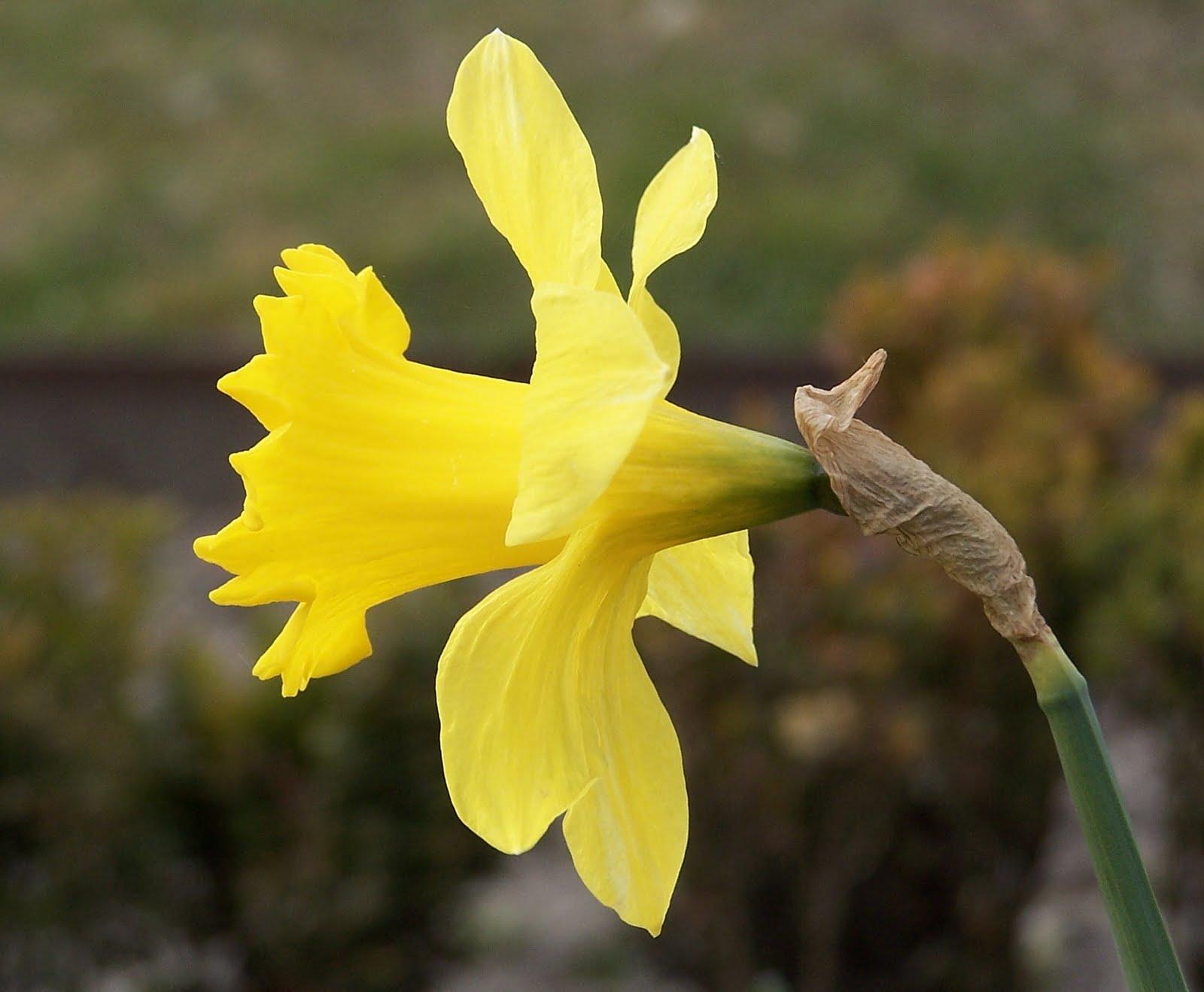 narcissus flower garde...