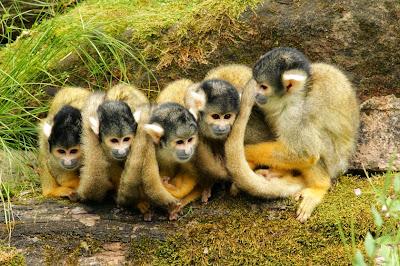 Tierfotos - Affen - Schwarzköpfiger Totenkopfaffe