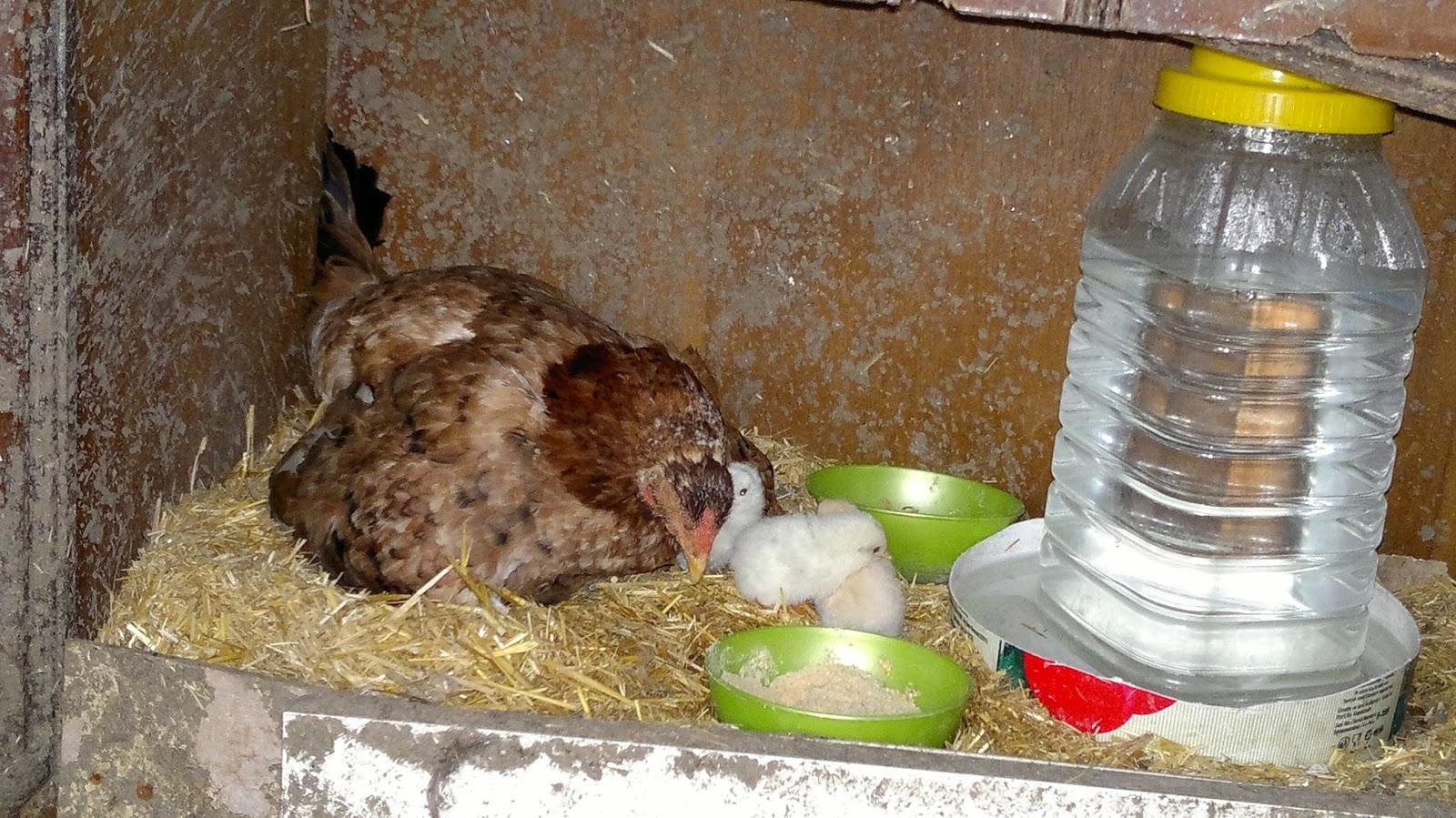 yeni doğan yavru civcivler