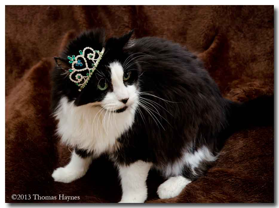 black and white cat with crooked tiara