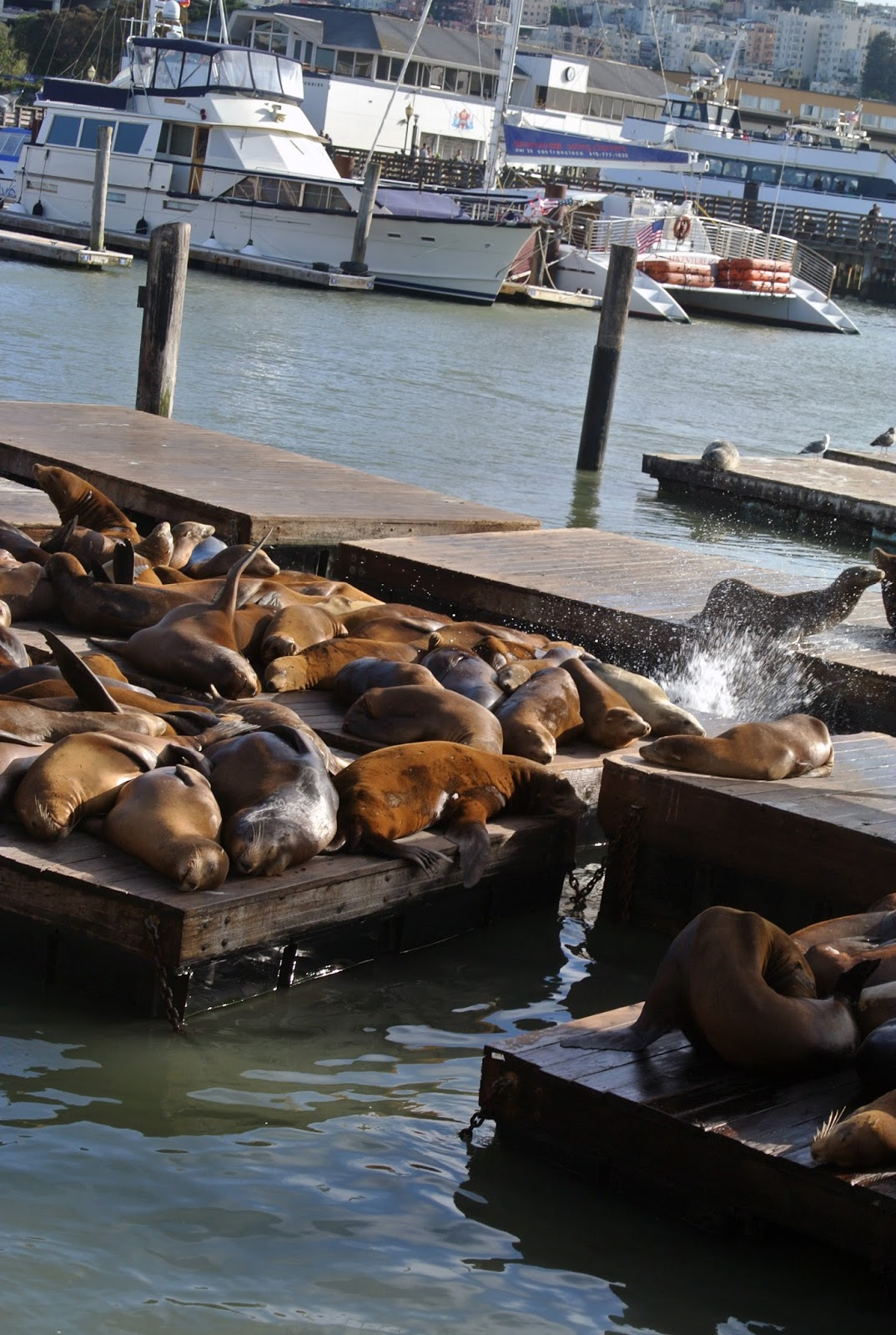 Sea Lions San Francisco