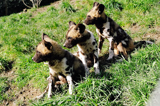 little cute puppies of african painted dog
