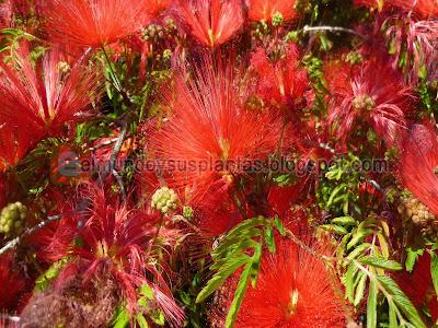 Flores de Plumerillo rojo