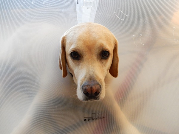 Labrador Cooper vet cone