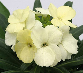 Erysimum cheiri, Cheiranthus cheiri 'Ivory White' English Wallflower