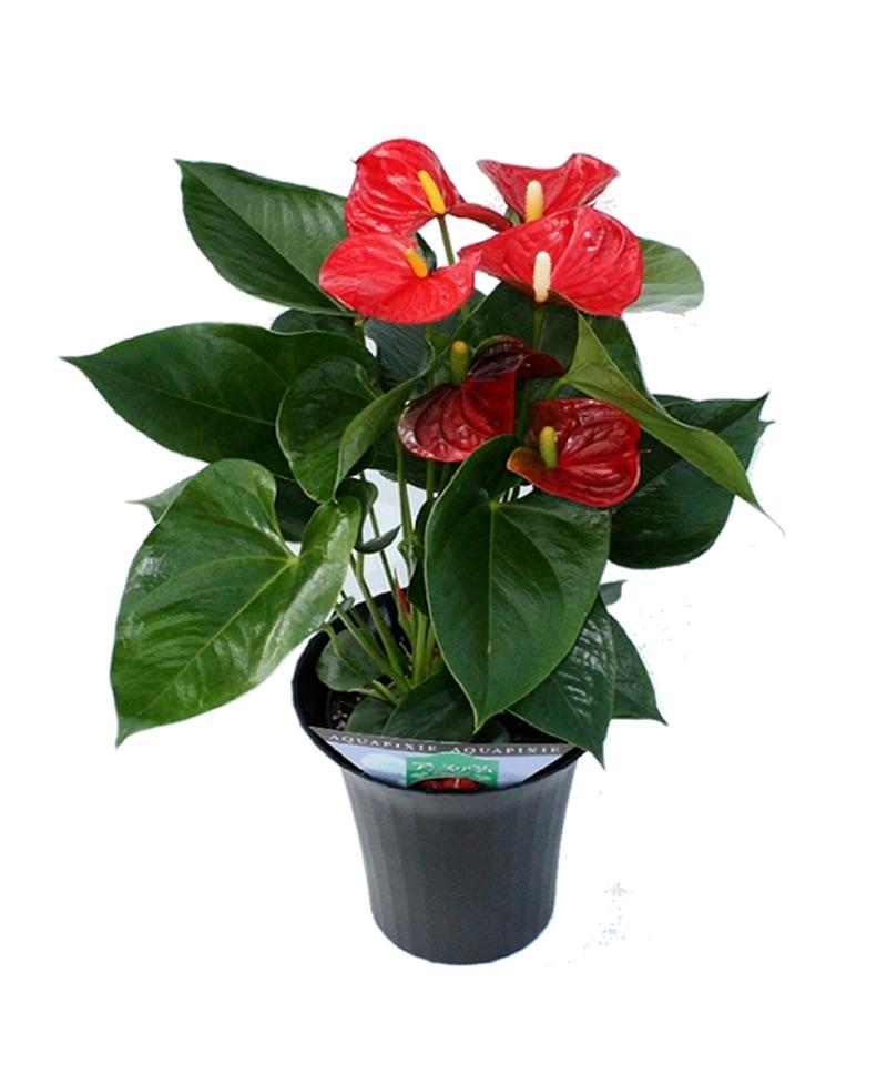 saksı çiçeği antoryum