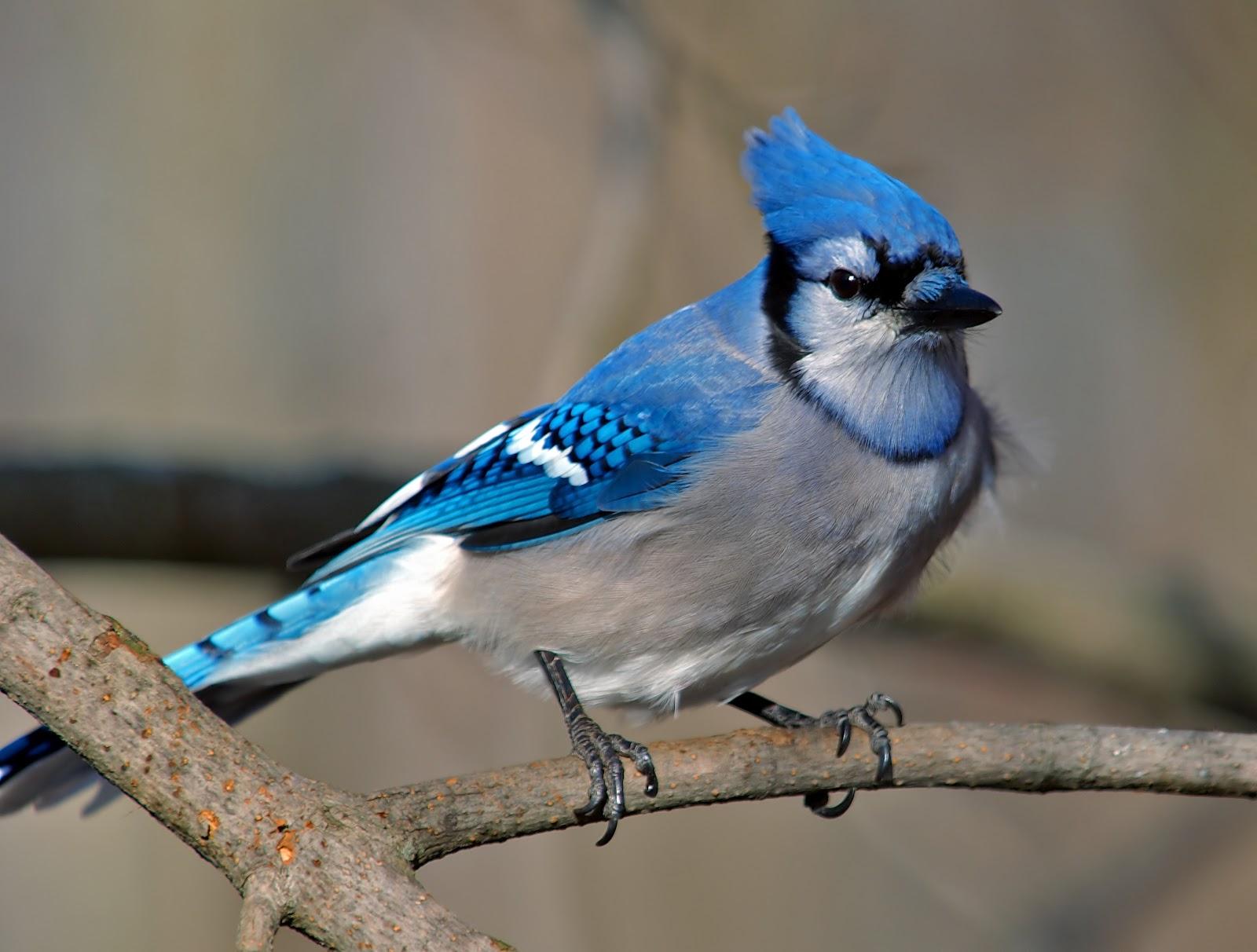 Blue jay images   wild birds   Wild Animal and Birds