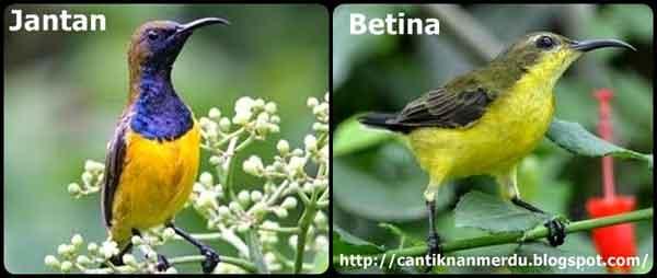 Kolibri Sriganti - Jenis Burung Kolibri Yang Terkenal