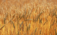 Autumn Wheat1