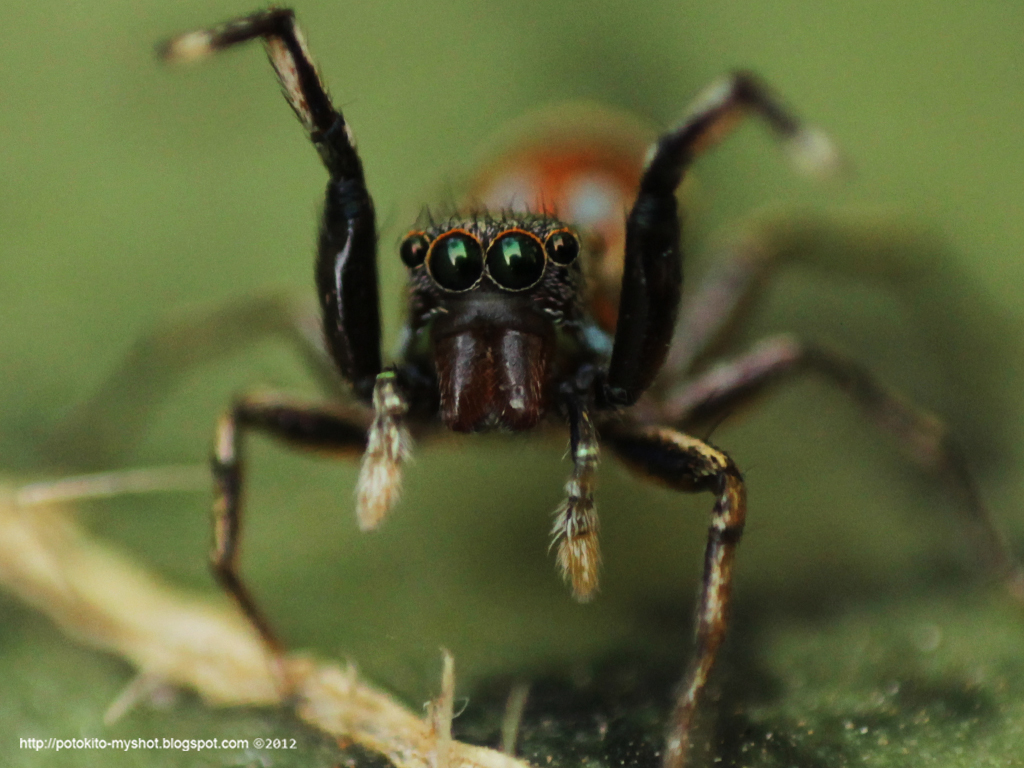 Colorful jumping spider - photo#9