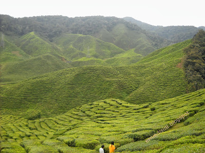 ladang teh bharat