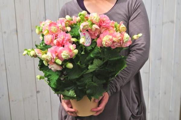 Всё о бегониях и не только...: Японские бегонии элатиор (Begonia elatior, =Begonia x hiemalis)