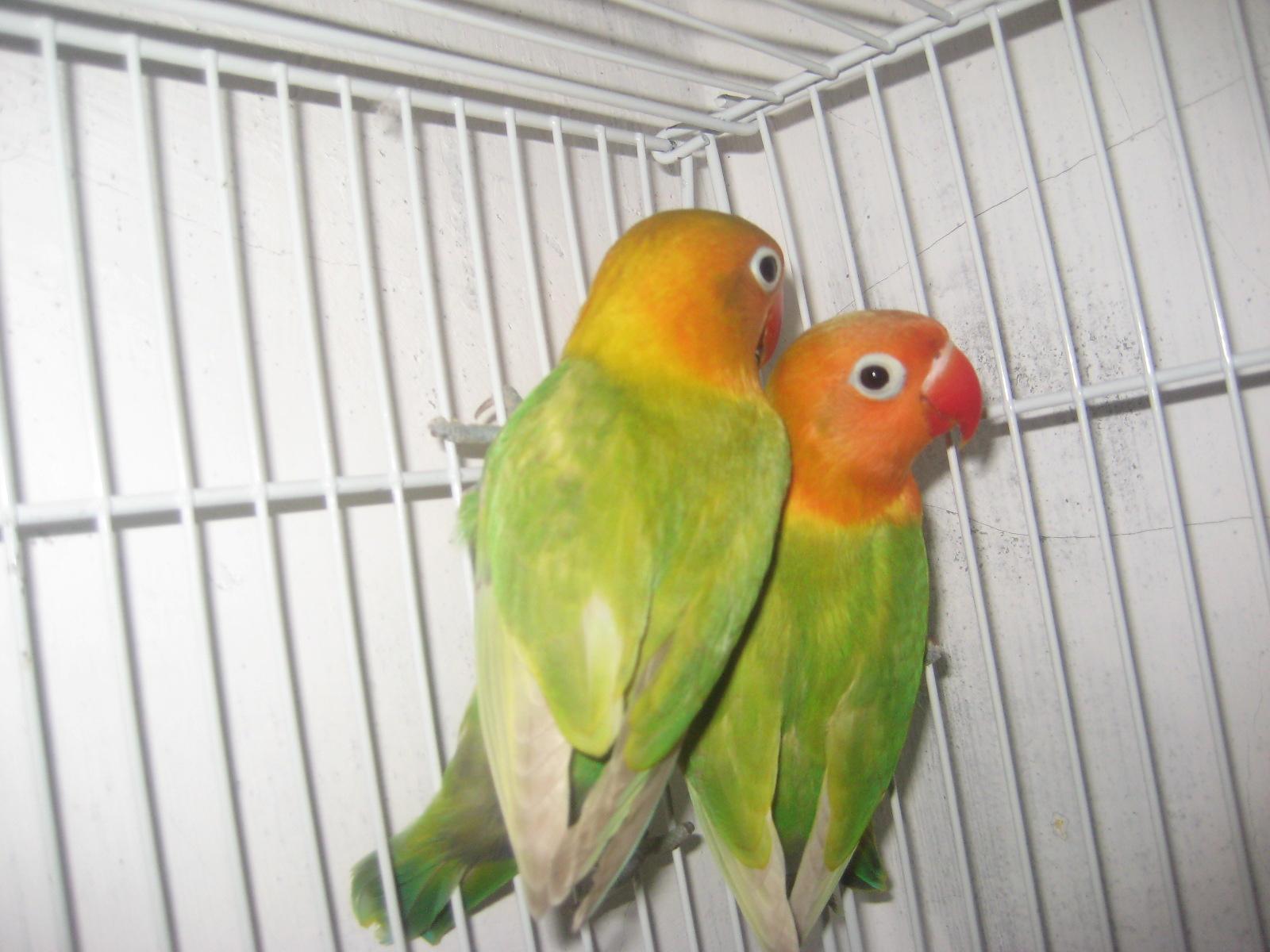 toko lovebird sepasang pastel ijo usia 4bln up
