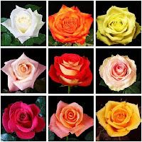 variedades de rosales