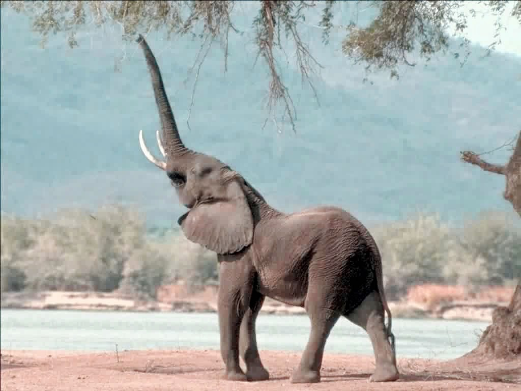 Elephant communicating