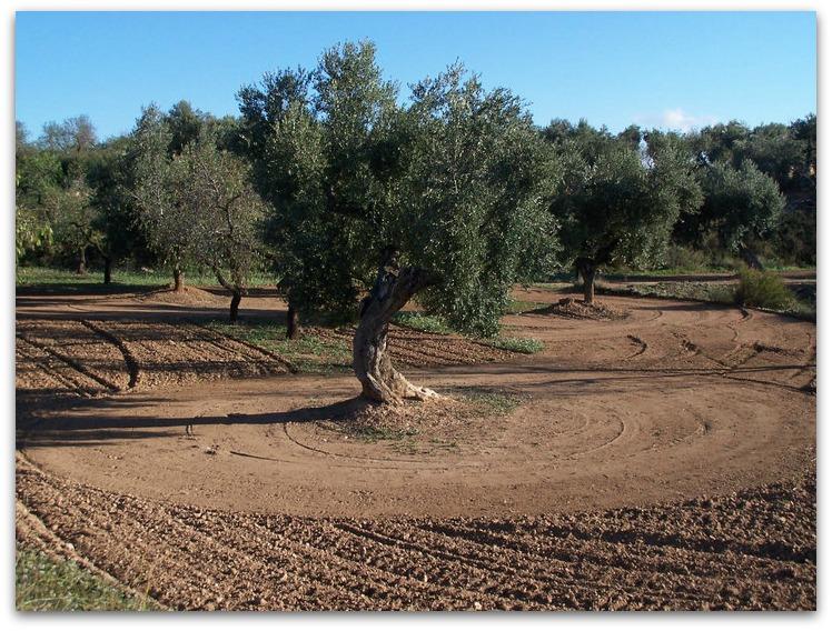 matarrania-aceite-de-oliva