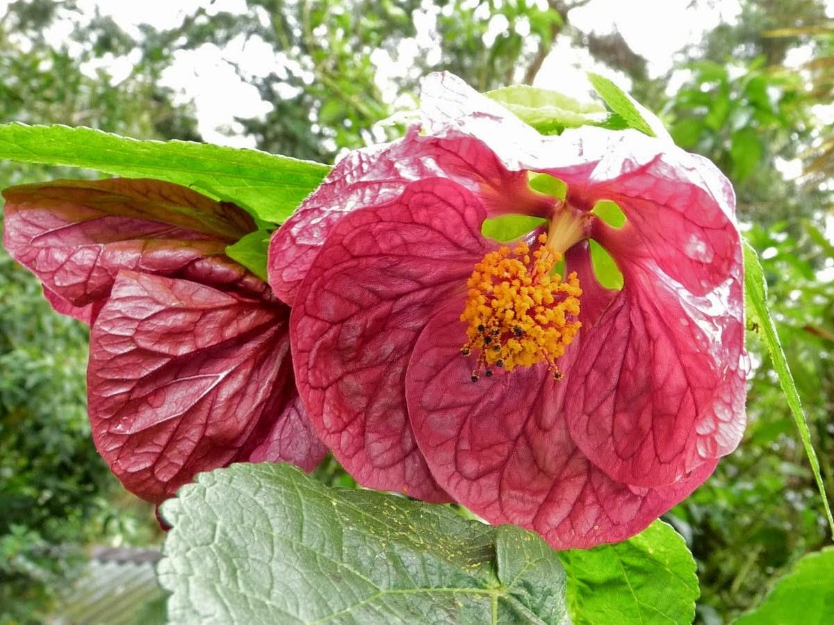 Abutilon Flower - Flower Coloring Page