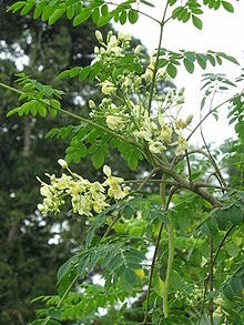gambar tanaman kelor