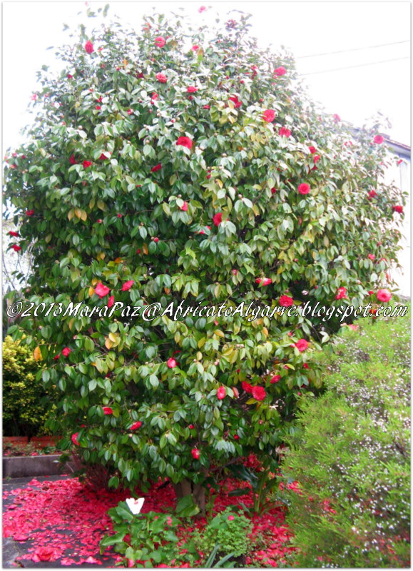 Red camellia japonica