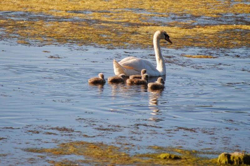 Cisnes con 3 semanas en Noja