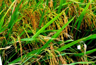 merang padi