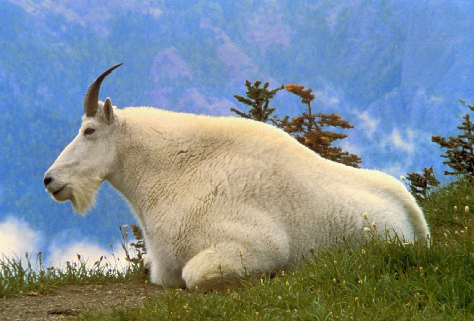 Really High Goat Mountain Goat | Wild L...