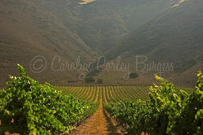 north canyon vineyard - treasury wine estates - beringer - etude