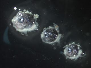 larval sunfish (molidae)